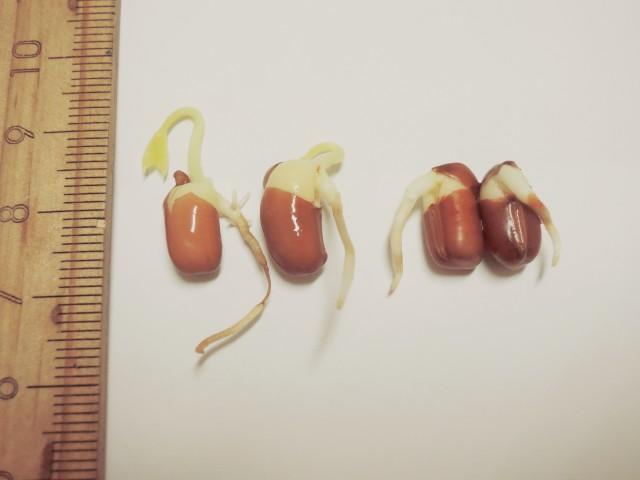 105紅豆生命週期03