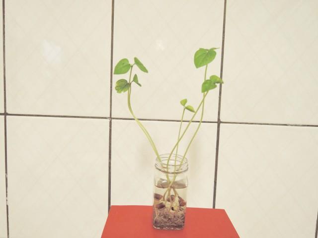 105紅豆生命週期04