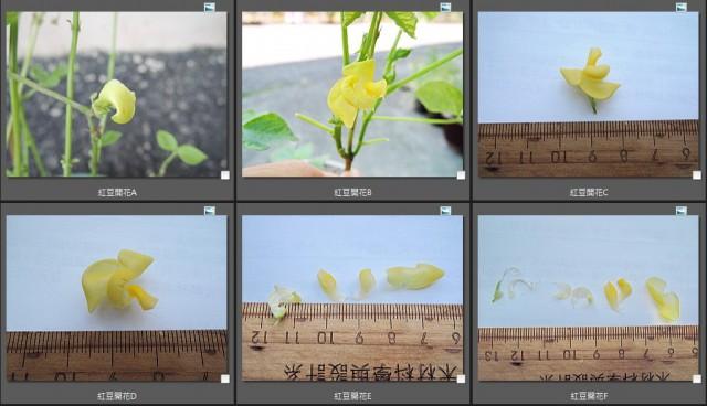105紅豆生命週期11-17