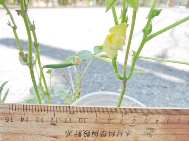 105紅豆生命週期18
