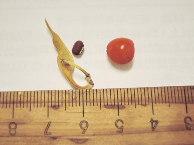 105紅豆生命週期21
