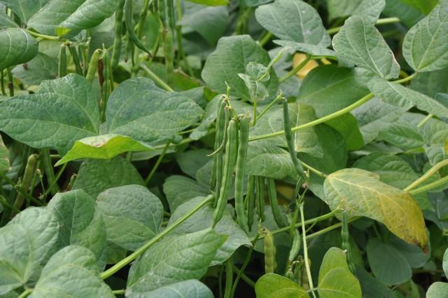 105紅豆生命週期26