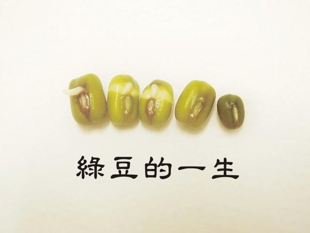105綠豆生命週期00
