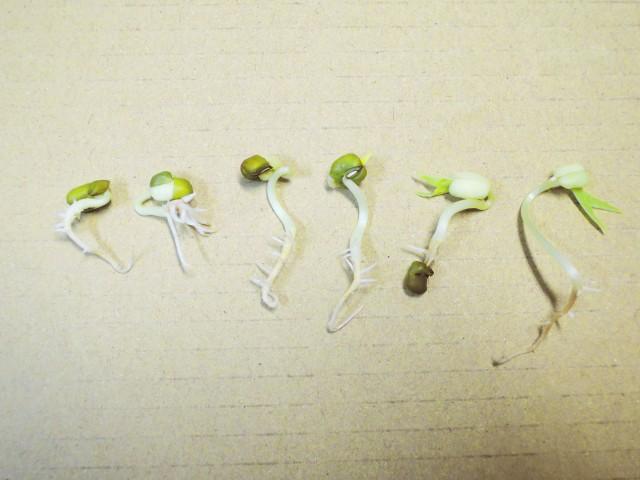 105綠豆生命週期07