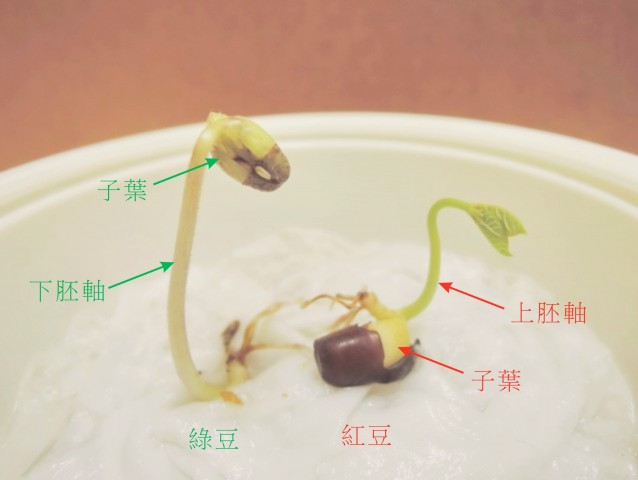105綠豆生命週期07a