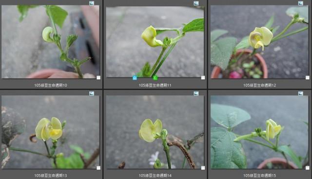 105綠豆生命週期10-15