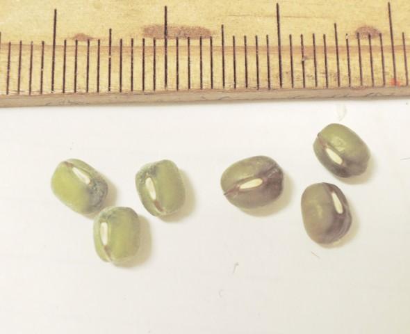 105綠豆生命週期27a