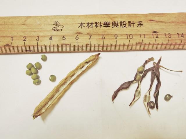105綠豆生命週期31