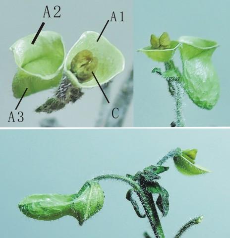 105台灣黃芩19a