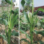 100玉米雌雄花
