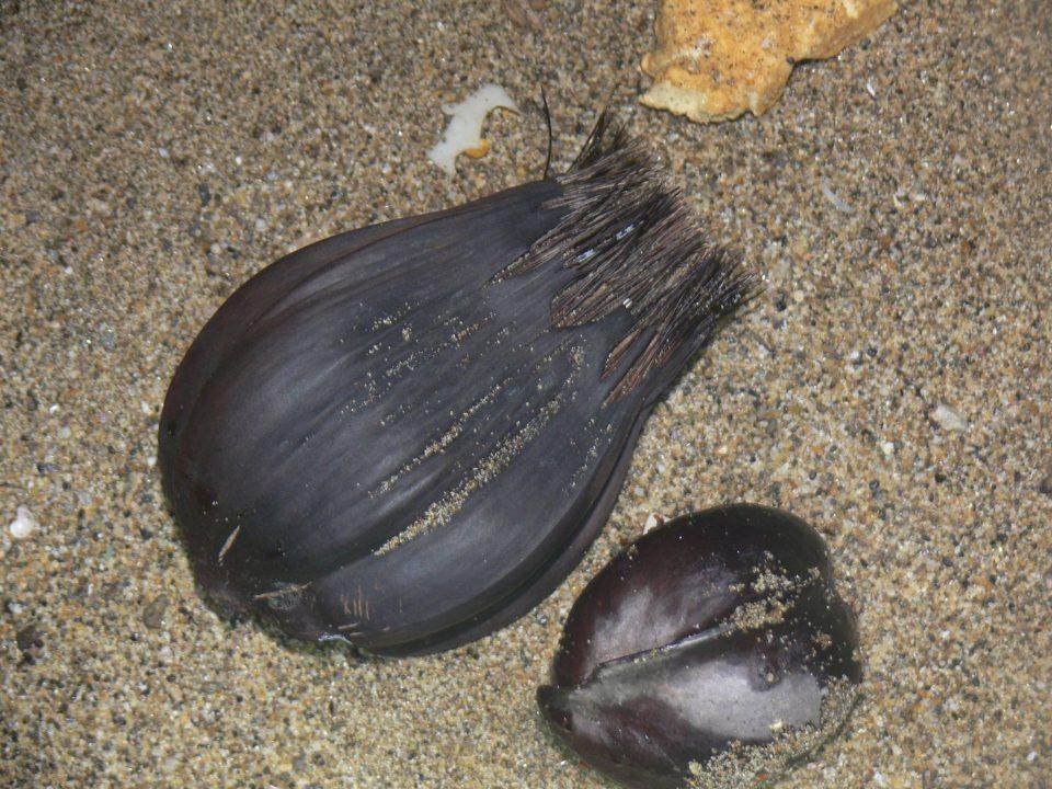 105水椰子a01