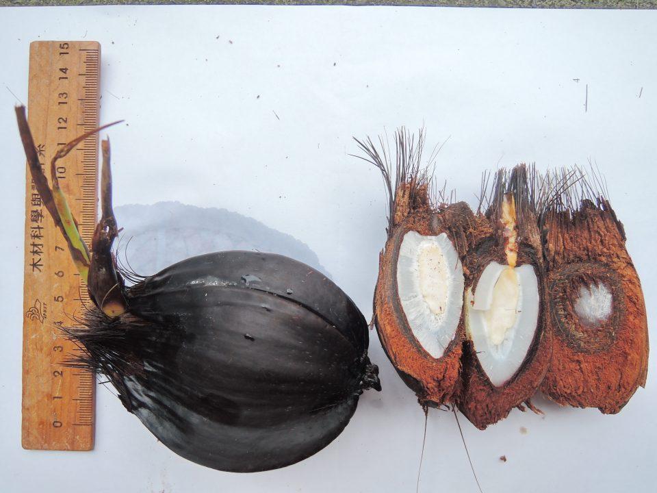 105水椰子a08