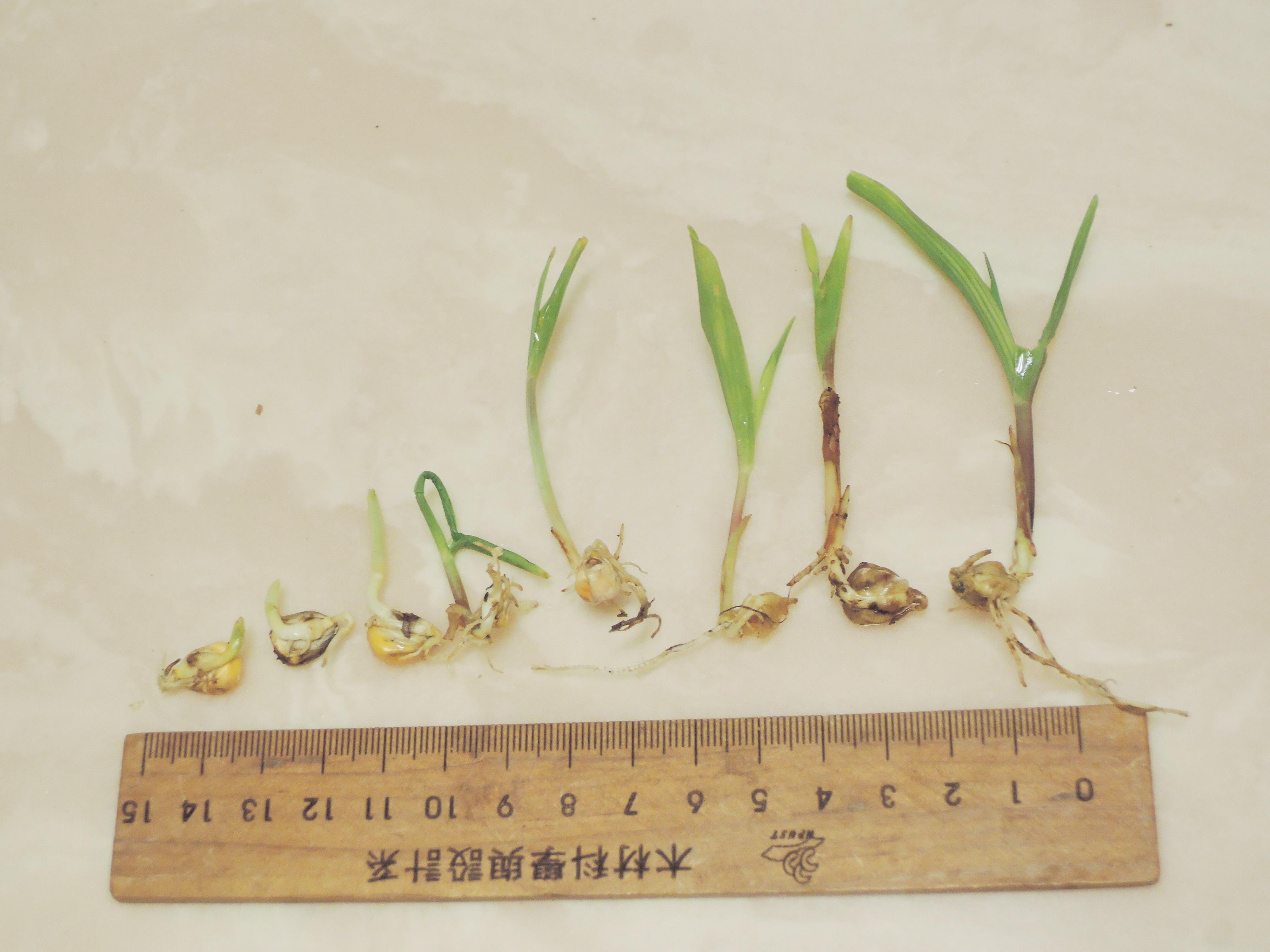 105玉米穗苗01