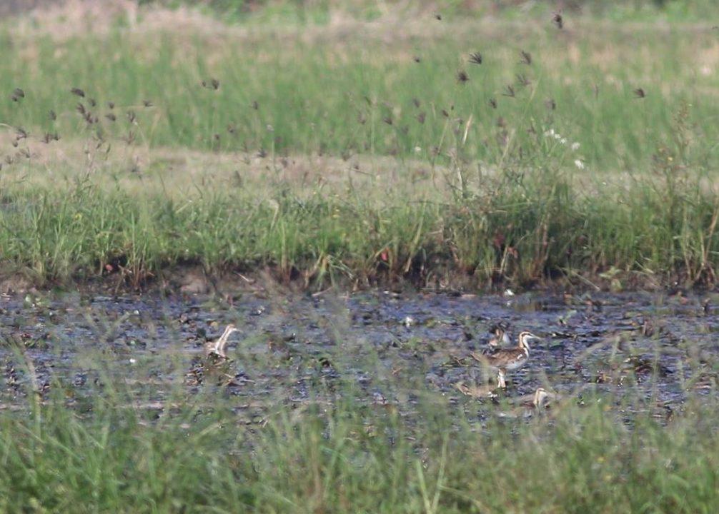 105菱角鳥水雉大調查42