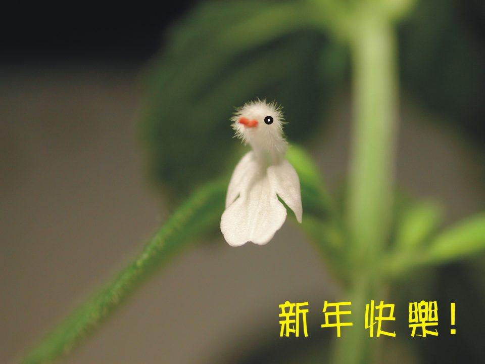 白花草02