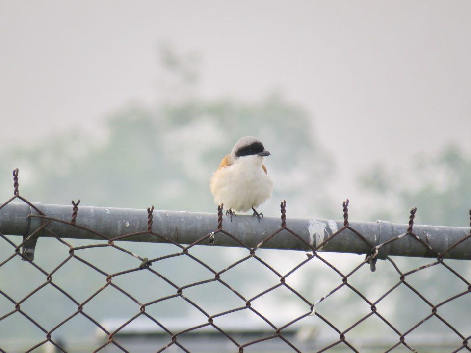 106新年數鳥-屏科大06棕背伯勞