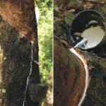 107巴西橡膠樹