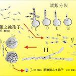107玉米黑穗菌(B)