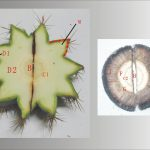 花座仙人掌(Melocactus)C