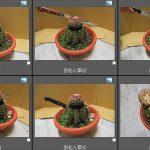 108花座仙人掌(Melocactus)
