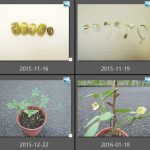 105綠豆的生命週期