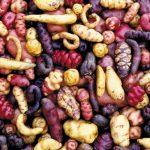 109馬鈴薯B