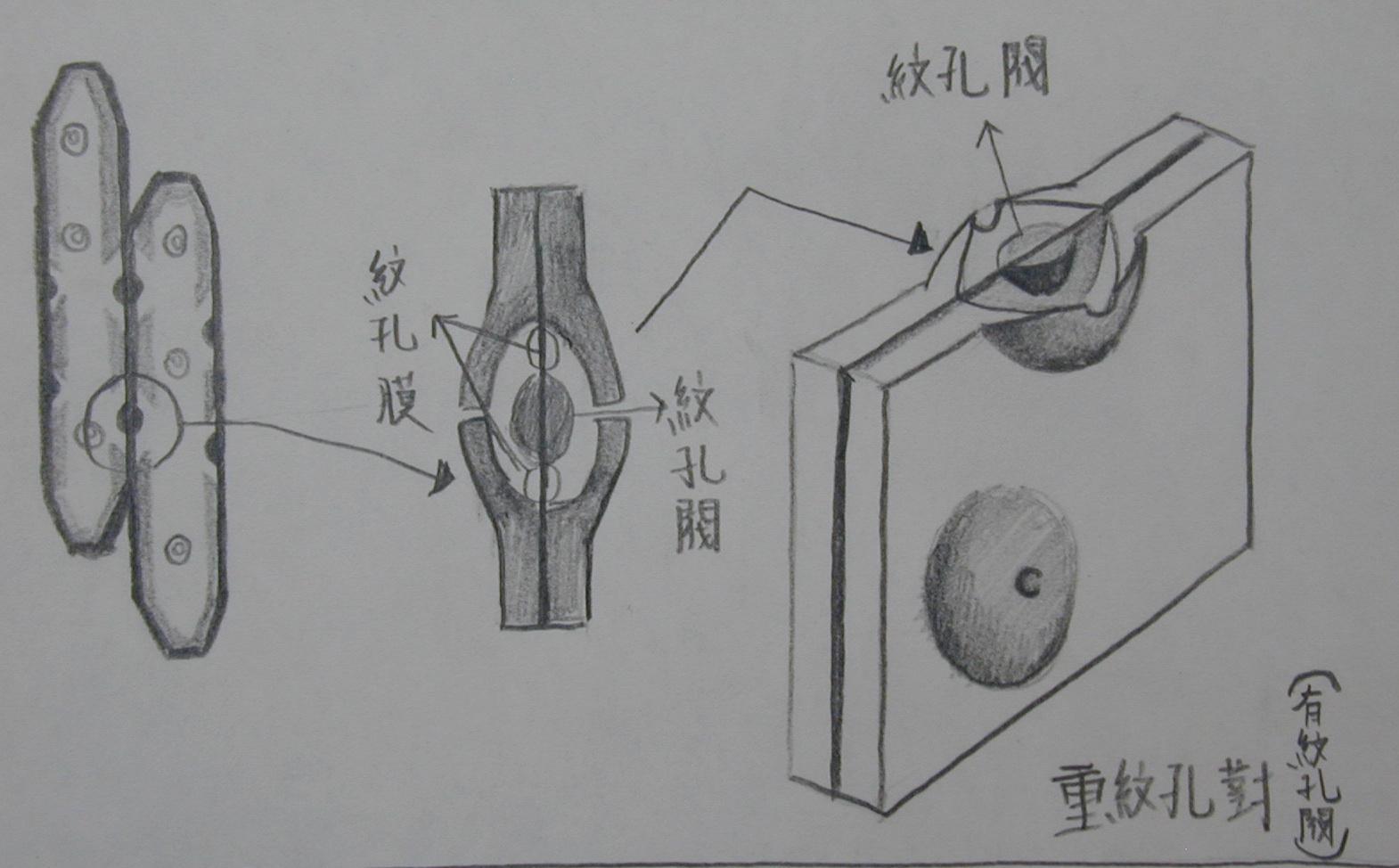 99木材组织实习(6a)–学生手绘版木材细胞的纹孔