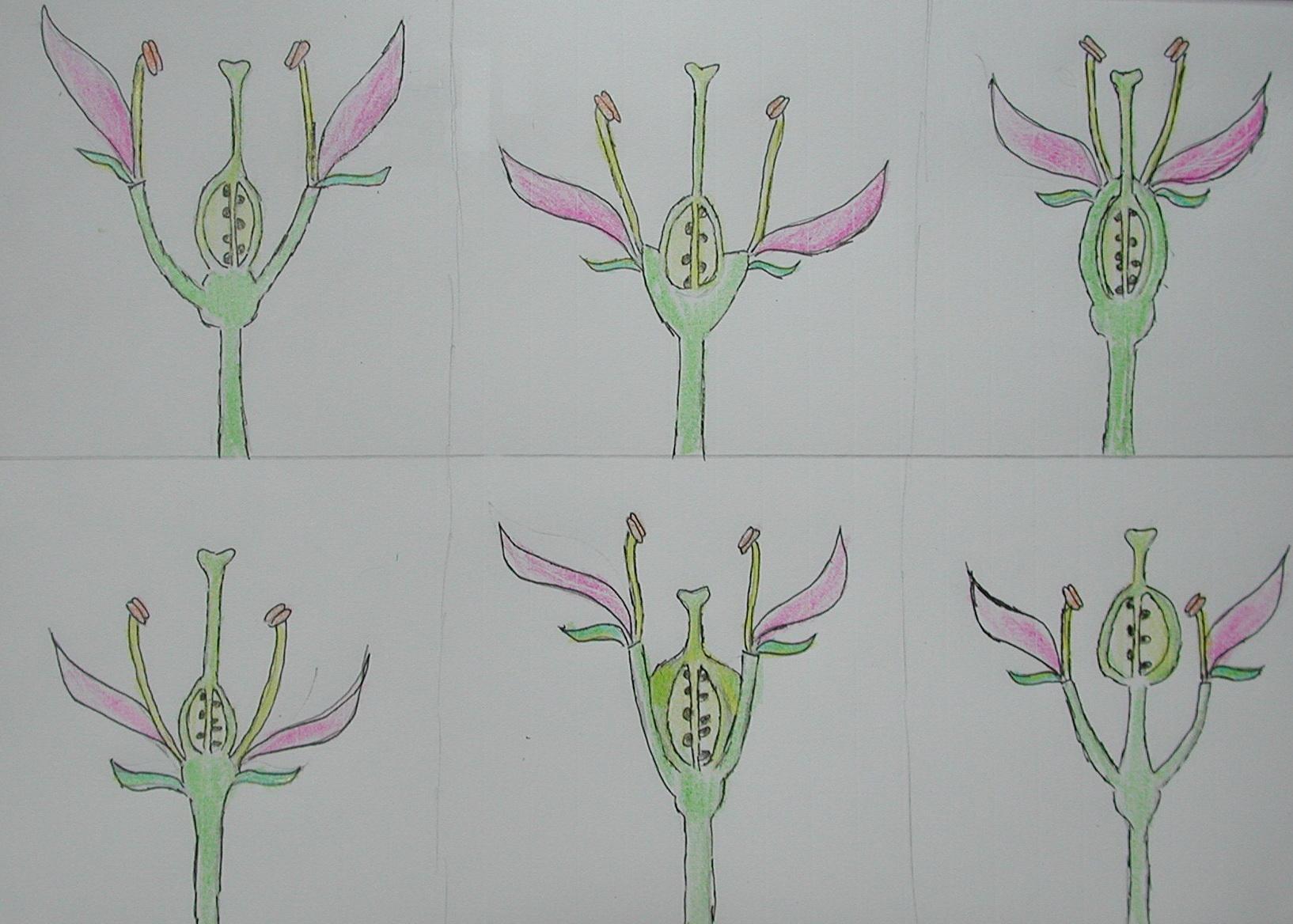 99植物學實習(8)—子房於花中的位置解說圖| 黑胡桃網路閣
