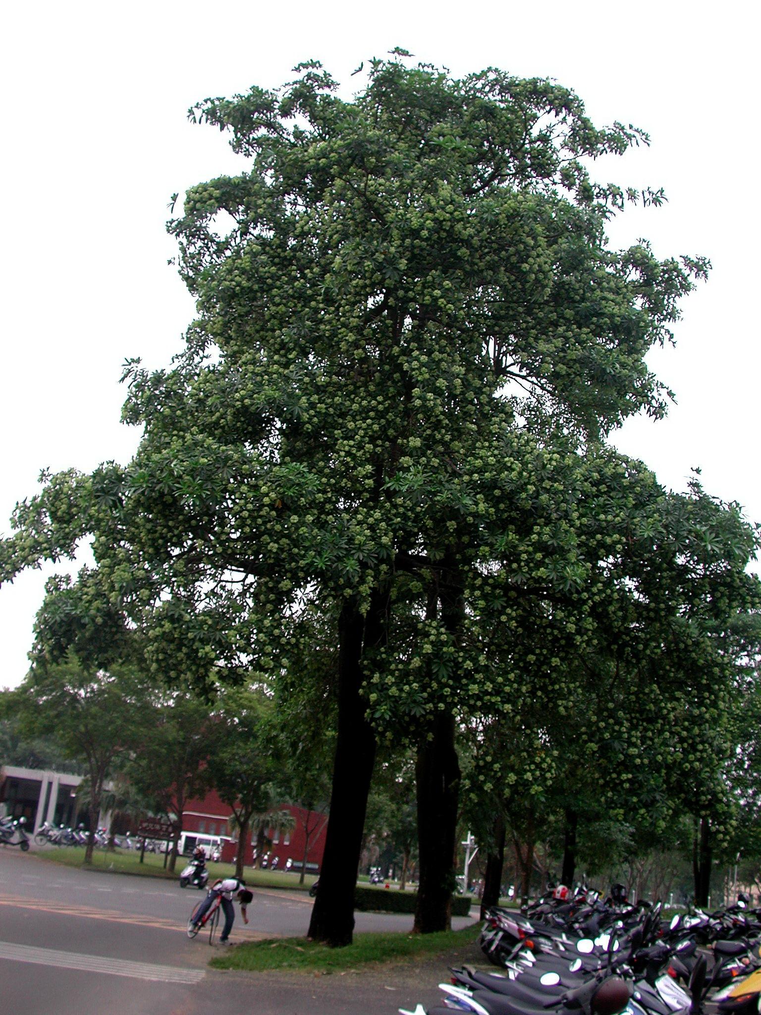 黑板樹印象