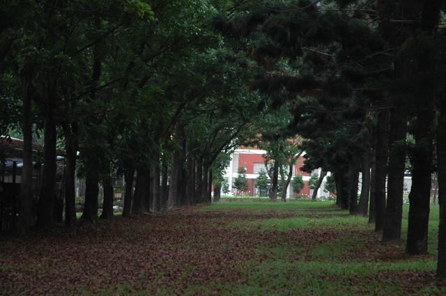 從大葉桃花心木看校園