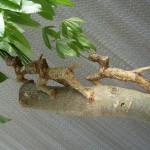 發財樹--馬拉巴栗