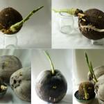 100 椰子發芽