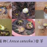 檳榔果實種子解剖