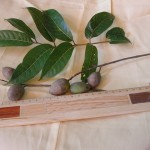 100 橄欖發芽