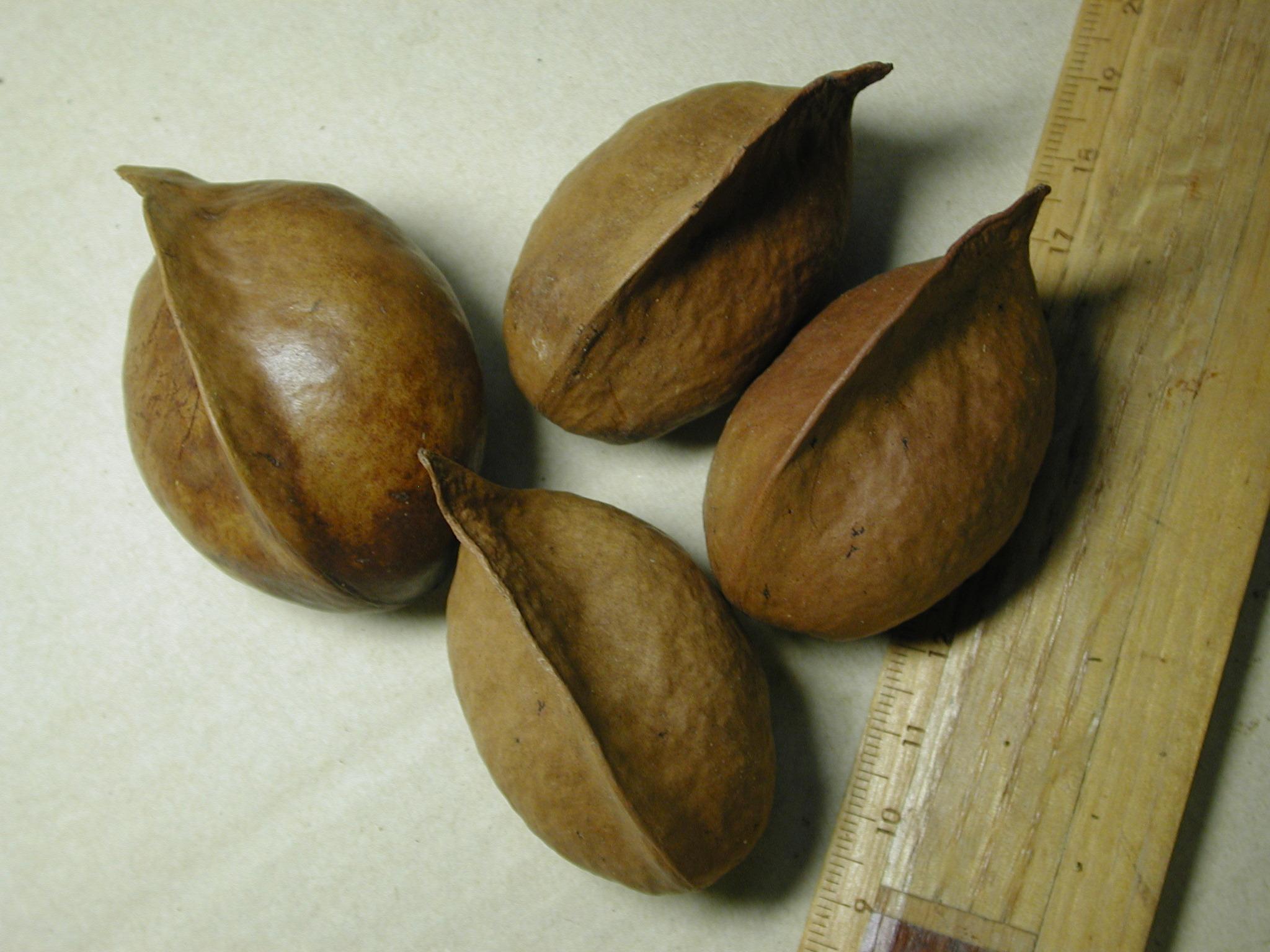 长得真像银叶树的果实