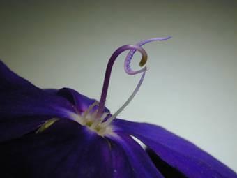 蒂牡花(紫花野牡丹) Tibouchina semidecandra