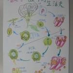 種子植物生命週期