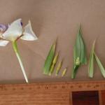 101-03巴西鳶尾開花