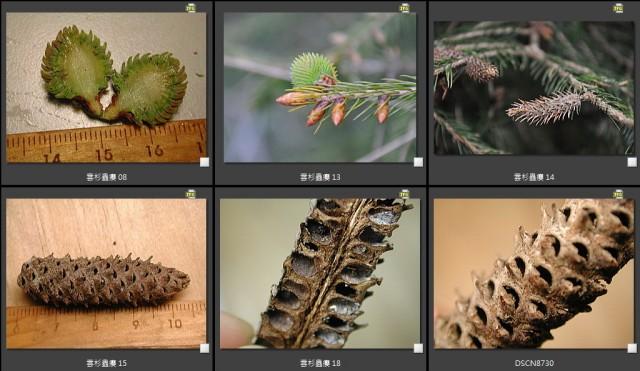 雲杉蟲癭 B.jpg