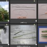 棕櫚科羽狀葉特化的長鞭狀小葉