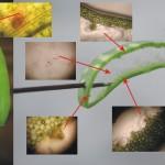 蘆薈 葉片構造