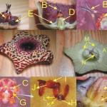 摩蘿科植物花朵構造