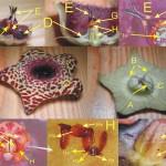 Huernia sp 花朵分解圖 A