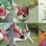 Huernia sp 花朵分解圖 C