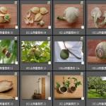 102 山刺番荔枝