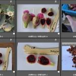 澎湖之仙人掌種子 A