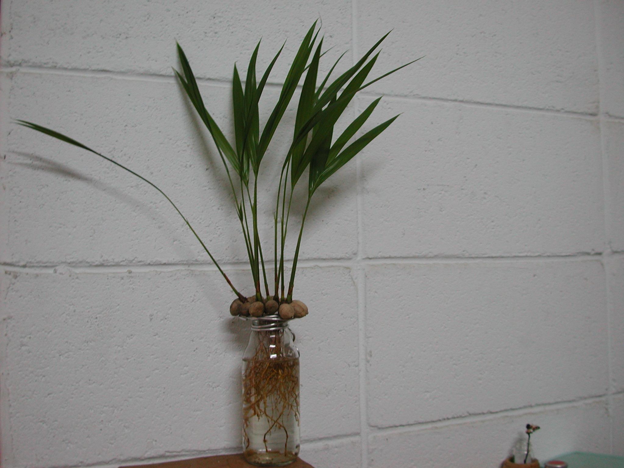 单子叶植物发芽记录总整理