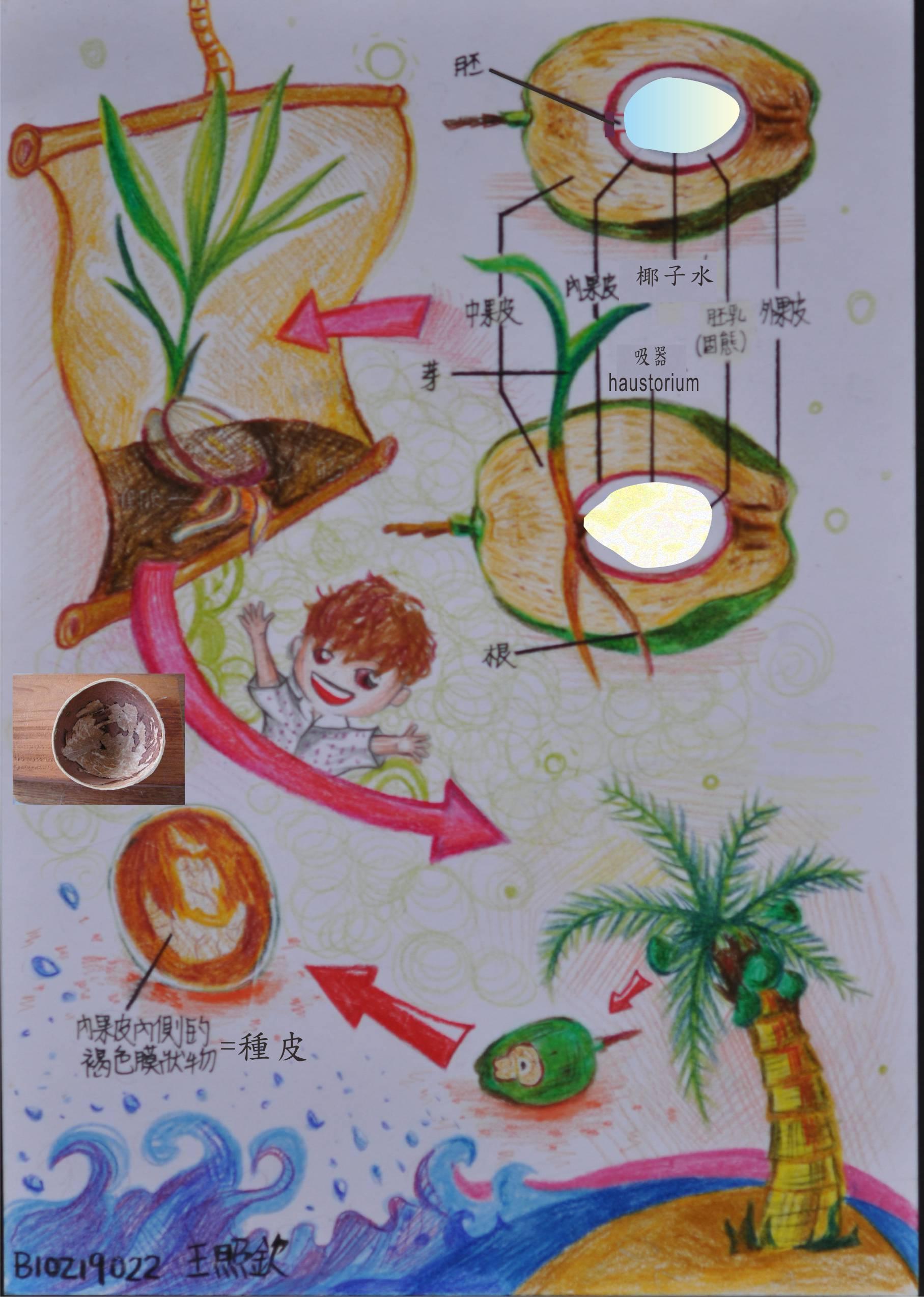 赏单子叶植物发芽解说图作业