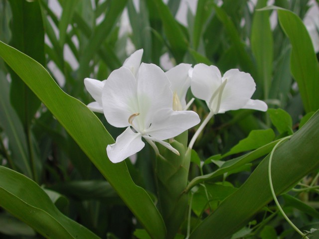 102 野薑花