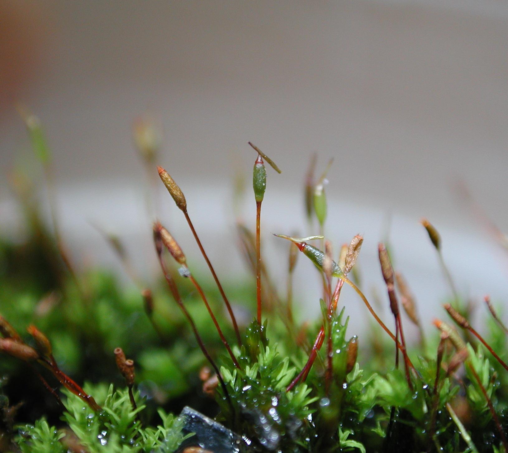 實際位置如上圖的圈圈內的構造 在發育過程中,頸卵器雖會隨孢子體發育而增大 但孢子體之蒴柄伸長時會將頸卵器之外殼頂破 殘留下來的部分附著在孢蒴的頂端,形成所謂的蒴帽(calyptra)。 所以這部分是屬於配子體的構造